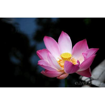 Lotus on Dark Pond